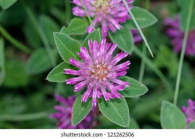 Trifolium pratense - clover - Shutterstock ID 121262506