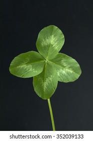 Trifolium, pratense; four-bladed;