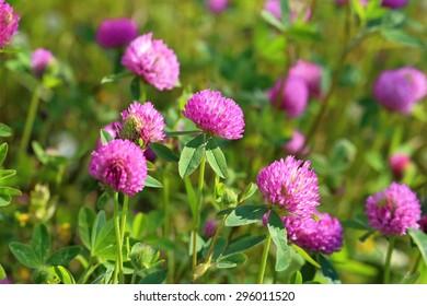 Trifolium pratense. Dicke eines blühenden Kleeblings