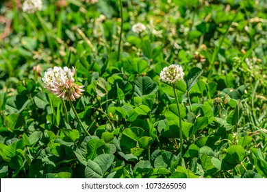 Trifolium repens (Amoria repens, Dutch clover, Ladino clover, Ladino) ; The small flowers, white petal with greenish sepals. All bunch together into heads of whitish round bouquet. long flower stem.