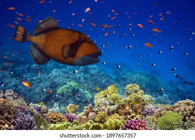 Triggerfish (Balistodes viridescens) swims in the Red Sea, Egypt