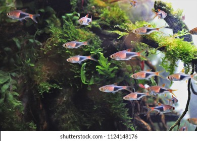Trigonostigma heteromorpha, Harlequin rasbora fishes are swimming in aquarium plants tank. They are popular in the aquarium trade and found in small forested streams in south of Thailand and Malaysia.