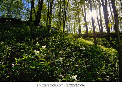 Trillium blooming on the hill in Ontario. Beautiful forest covered with trillium white flowers
