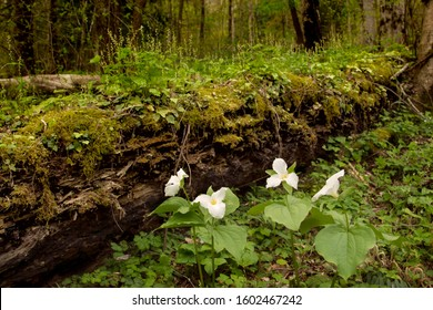 Trillium grandiflorum large flower trillium in forest.