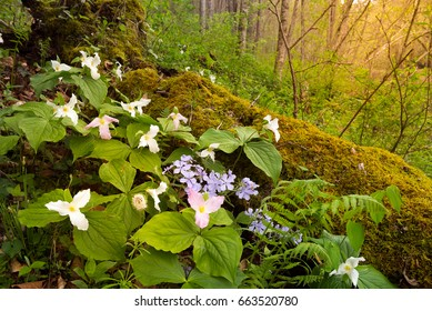 Trillium and spring foliage