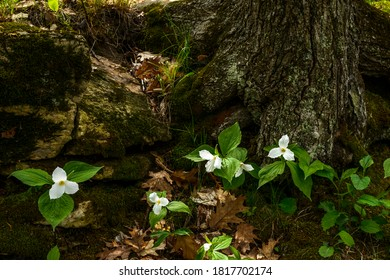 Trilliums in bloom along the Eagle Trail in  Peninsula State Park, Door County, Wisconsin, USA