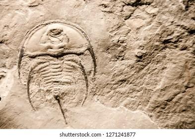 Trilobite arthropod fossil