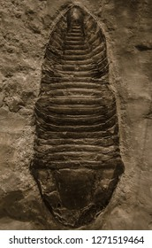 Trilobite arthropod fossil at a Museum