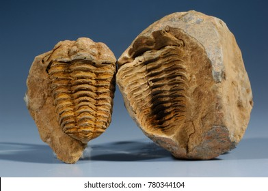 Trilobite fossil, mold and cast (Phacops sp.) Morocco,  Devonian Period