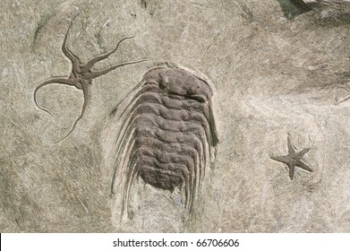 Trilobite fossil with star fish. Trilobite is about 25cm long.