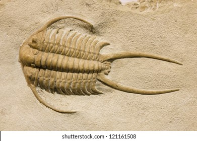 trilobite fossil with thorns and spines