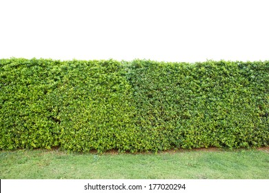 trimed shrub fence isolated on white with clipping path
