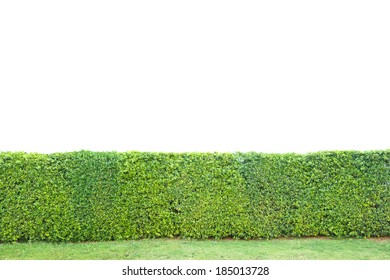 trimed shrub fence isolated on white,clipping path