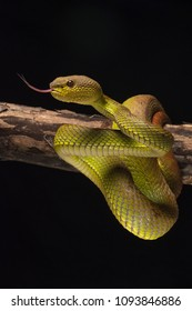 Trimeresurus albolabris is a high venom snake. We can find this snake hang on the tree at the daylight and looking for prey at the night.