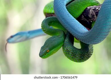 trimeresurus insularis, white-lipped island snakes, venomous snakes