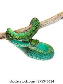 Trimeresurus trigonocephalus, also known as Sri Lankan Palm Viper, a venomous tree snake found in the grasslands and rainforests of Sri Lanka