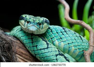 Sri Lankan Pit Viper Images Stock Photos Vectors Shutterstock