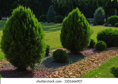 trimmed arborvitae and yellow gravel path as an element of landscape design. Oriental Arbor-vitae