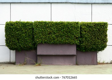 Trimmed hedge outside a white wall