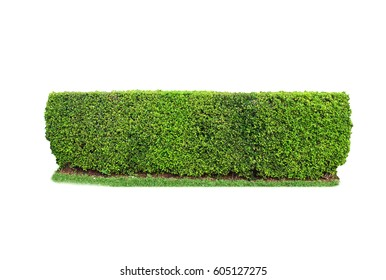 trimmed shrub fence isolated on white