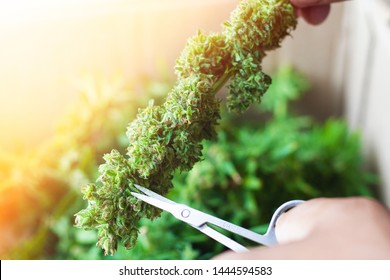 trimming buds hemp drug ,trimmed  medical cannabis flower weed with orange sun light from the window close up