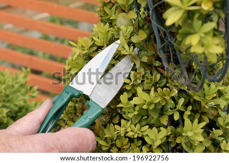 Trimming an ornamental shrub with topiary shears or clippers