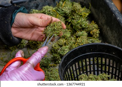 Trimming with scissors cannabis or marijuana buds or flowers. Hands of trimmer close up trimming over a tray containing more flowers un-trimmed. A basket with trimmed flowers is in the scene.
