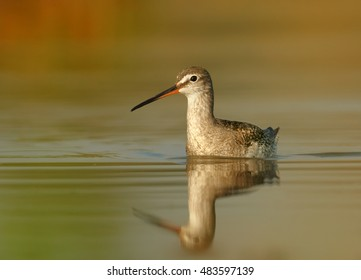 Tringa erythropus, Spotted redshank, shorebird in its typical environment, swimming in water. Orange vegetation mirroring in water. Ground level photo. Migratory stop in wetlands of  Czech republic.