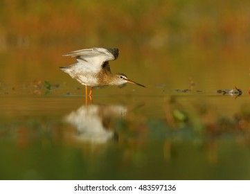 Tringa erythropus, Spotted redshank, wader in its typical environment, taking off from water surface. Orange vegetation mirroring in water. Migratory stop in wetlands of  Czech republic.