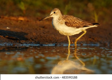 Tringa nebularia, Common Greenshank, typical wader  in its environment. Bird reflecting in water, looking for water insects, against red background, close up photo from ground level. Scotland.
