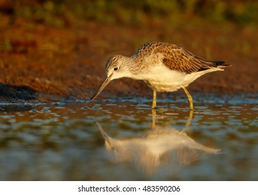 Tringa nebularia, Common Greenshank, typical wader in its environment. Bird in water, looking for water insects, close up photo from ground level. Scotland.