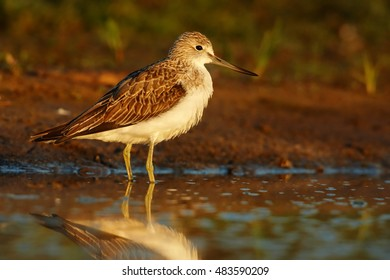 Tringa nebularia, Common Greenshank, typical wader  in its environment. Bird reflecting in water, looking for water insects, close up photo from ground level. Scotland.