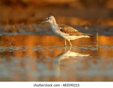 Tringa nebularia, Common Greenshank, typical wader  in its environment. Bird reflecting in water, early morning colorful light against orange background, photo from ground level. Scotland.