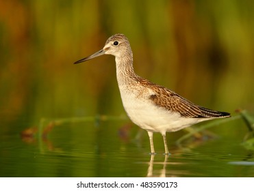 Tringa nebularia, Common Greenshank, wader on its autumn migratory stop in typical environment. Bird in water, looking for water insects, close up photo from ground level. Czech republic, Europe.