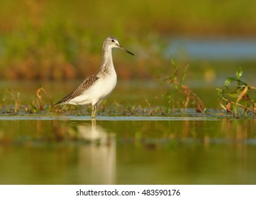 Tringa nebularia, Common Greenshank, wader on autumn migratory stop in  its typical environment. Bird in water mirroring green vegetation, photo from ground level. Czech republic, Europe.