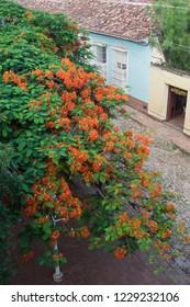 Trinidad. Cuba. 08-17-18. A view of flamboyants (Delonix regia) from Convent of San Francisco.