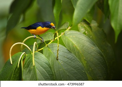 Trinidad Euphonia,Euphonia trinitatis, small colorful passerine. Tropical, blue and yellow  songbird on feedin on berries on twig among green leaves. Male, ASA Wright centre, Trinidad.