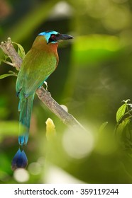Trinidad Motmot Momotus bahamensis perched on branch. Vertical picture,side view, blurred green forest background. Rufous chest,blue-crowned head,big beak,long blue tail. island Tobago.