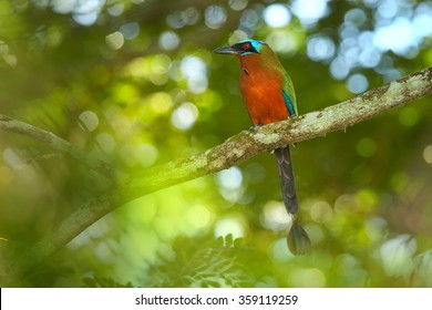 Trinidad Motmot Momotus bahamensis perched on branch. Horizontal picture, front view,blurred green forest background. Rufous chest,blue-crowned head,big beak,long blue tail. island Tobago.