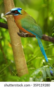 Trinidad Motmot, Momotus bahamensis, perched on branch, side view. Vertical picture, blurred green forest background. Rufous chest,blue-crowned head,big beak,long blue tail. island Tobago.