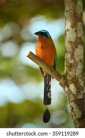 Trinidad Motmot Momotus bahamensis perched on branch. Vertical picture,front view,blurred blue and green forest background.Nice bokeh,rufous chest,blue-crowned head,big beak,long tail. Island Tobago.