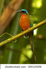Trinidad Motmot Momotus bahamensis perched on branch. Vertical picture, blurred green bamboo background. Rufous chest,blue-crowned head,big beak,long blue tail.Trinidad,ASA,Wright centre.