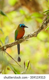 Trinidad Motmot Momotus bahamensis perched on branch. Vertical picture,side view,blurred yellow green forest background.Nice bokeh,rufous chest,blue-crowned head,big beak,long tail. Island Tobago.