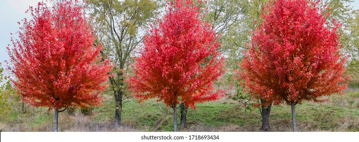 A trio of autumn blaze trees on a cloudy day in the forest