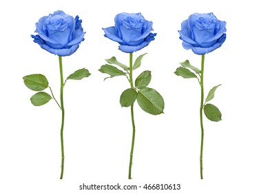 Trio blue roses isolated on a white background