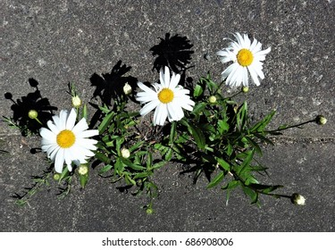 Trio of daisies bloom beautifully even in a tough situation like in a concrete crack