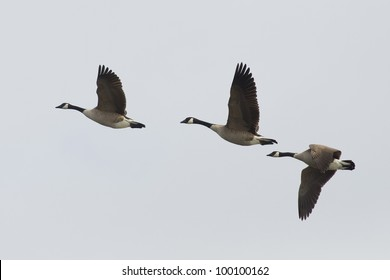Trio of Flying Geese