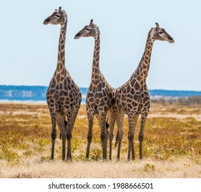 trio of giraffes looking into camera standing next to each other in ethosa national park