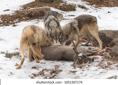 Trio of Grey Wolves (Canis lupus) Tear Into Deer Carcass - captive animals