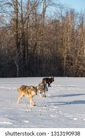 Trio of Grey Wolves (Canis lupus) in Snowy Field Winter - captive animals